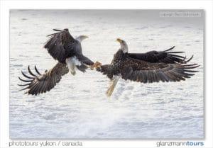 Action Aufnahme zwei Adler im Luft Kampf Alaska auf Fotoreise mit Beat Glanzmann dem Profi