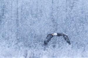 Adler-Fotografie mit Profi-Fotograf Beat Glanzmann Winter Nordamerika