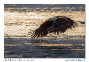 Adler im Flug am Lachsfluss fotografiert in reflektierender Morgenlichtstimmung Fotreisen Glanzmann Tours