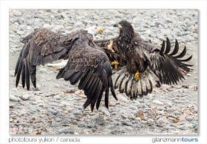 Junger und alter Adler im Kampf Luft Action am Lachsfluss Alaska Voegel fotografieren mit dem Fotografen