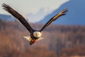 Weisskopfseeadler gestochen scharf fotografiert mit Beute im Flug, Lachskopf im Fang, Fotoreisen Yukon und Alaska
