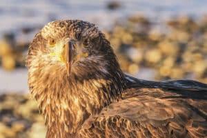 Goldener leuchtender junger Weisskopfseeadler im Sonnenlicht, Portrait von Adlern auf Fotoreise unterwegs
