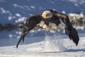 BJ Bald eagle in Alaska, Glanzmann Tours Yukon