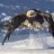 BJ-Weisskopfseeadler in Alaska, Glanzmann Tours Yukon