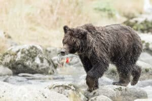 Eleganter Bär am Lachsfang fotografiert. Fotoreisen mit Beat Glanzmann in Nordamerika