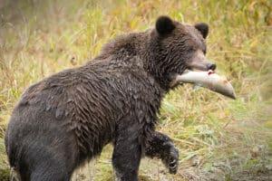 Grizzly Bär am Lachsfang fotografiert Kleingruppen Fotoreisen mit Beat Glanzmann