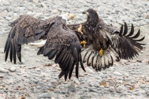 Chilkat Valley Action Photography of fighting eagles