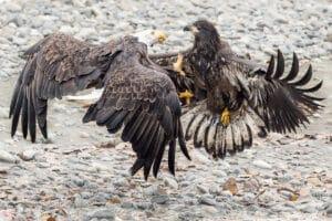 Alter und Junger Weisskopfseeadler im Flugkampf. Actionaufnahme vom Profifotograf Beat Glanzmann