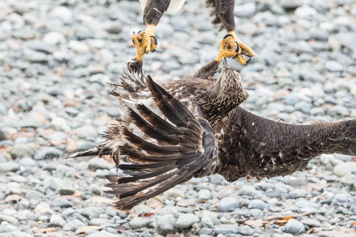 Hand in Hand zwei im Luftkampf verkrallte Weisskopfseeadler. Actionvogelfotografie vom Profifotograf Beat Glanzmann