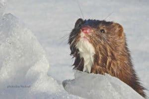 Lachender Mink posiert auf Fotoreisen mit Glanzmann Tours am Kluane National Park Yukon