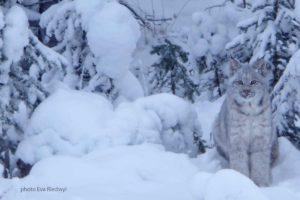 Ein Luchs im Winter in der Yukon Wildnis wilde Tiere beobachten und fotografieren Alaska Wildlife Trapping