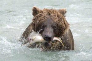 Portrait vom Bär im Fluss mit Lachs in der Schnauze Alaska Fotoreisen mit Profi