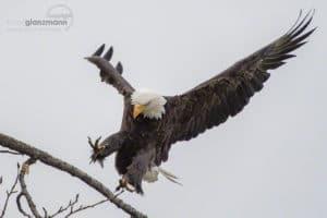 Weisskopfsee-Adler im Anflug zur Landung auf einem Ast am Lachsfluss in Alaska. Fotografiert auf Fotoreise in Amerika.