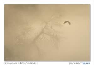 Grösste Weisskopf-Seeadler-Ansammlung am Lachsfluss in Haines Alaska am Chilkat River Fotoreisen mit Beat Glanzmann