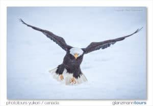 Ein Bald Eagle Weisskopf Seeadler im Anflug vor der Landung auf dem Lachsfluss fotografiert vom Profi