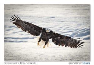 Weisskopfsee Adler im frontalen Anflug volle Spannweite ueber dem Lachsfluss