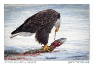 Weisskopfseeadler frisst Lachs. Drückt mit Krallen den Fisch in den Schnee und zieht am Kopf. Gestochen scharf Adler- und Fischauge.