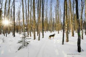Winterspaziergang mit Husky unterwegs im hohen Norden Kanada Yukon Urlaub Schlittenhunde und Winterreisen
