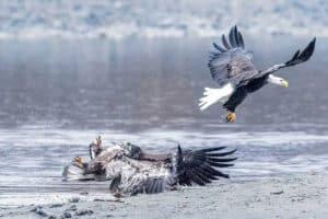 Spektakuläre Aktionsaufnahme Adler beim Kampf im Flug fotografiert in wilder Natur in Alaska Haines Küste Fotoreisen Nordamerika