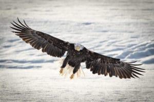 Weisskopf Seeadler am Lachsfluss im Frontalanflug am Chilkat River in Alaska auf Fotoreisen mit Profifotograf unterwegs fotografiert