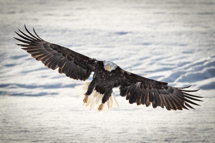 Adler Eagle Alaska