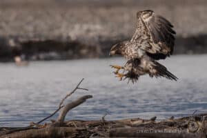 Eagle photography tour and workshop, Glanzmann Tours, Yukon / Alaska