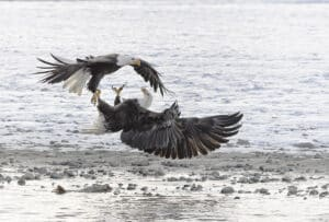 Eagles fighting at Chilkat Valley Alaska North America