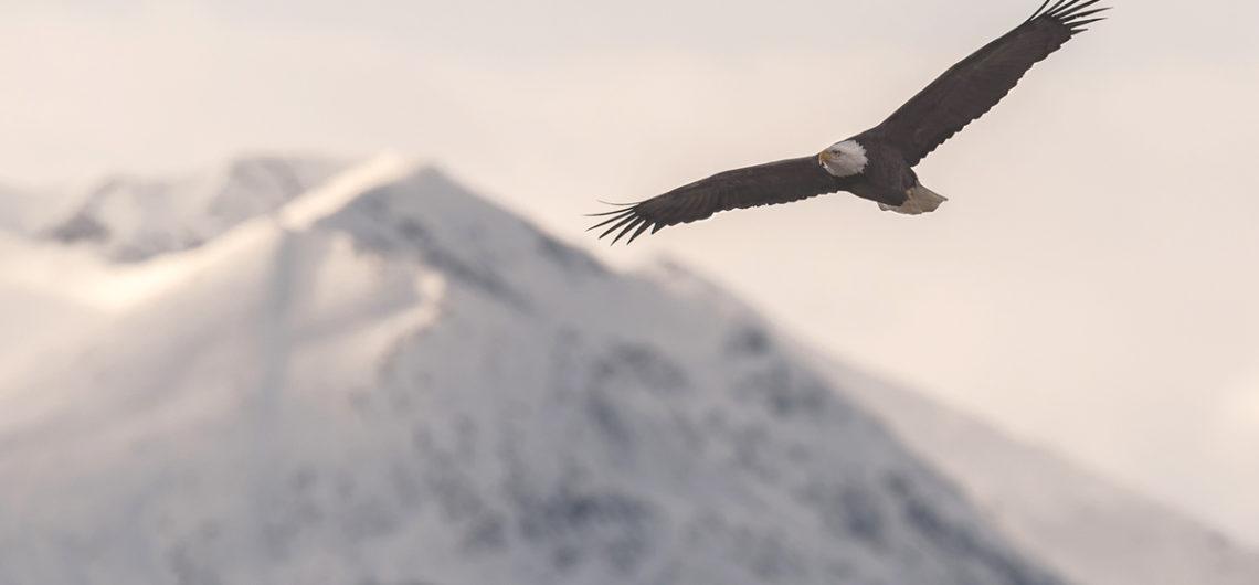Adler in der Wildnis Kanadas – Winter-Reise-Erlebnis