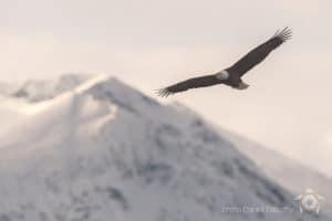 Foto Daniel Sabathy Adler Fotoreise mit Glanzmann Tours in Alaska. Weisskopfseeadler im Flug mit Berge im Hintergrund.