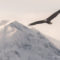 Flying eagle in winter canadian wilderness