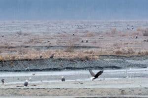 grösste Weisskopfseeadler Ansammlung der Welt am Chilkat River beim Lachse fangen, Haines Highway, Alaska