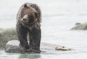 Alaska Grizzly Bär schüttelt sein Kopf am Lachsfluss mit Lachsfang am Chilkat River Haines Küstenbären beobachten und fotografieren Nordreisen