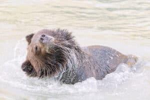Bär Grizzly schüttelt Kopf am Lachsfluss Chilcat River Tierfotografie Action Aufnahme Tiere beobachten mit Profi Fotograf auf Reisen
