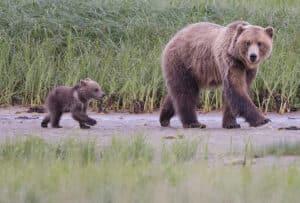 Grizzlymutter Bärin mit Jungen unterwegs am Fluss Alaska Kanutouren Abenteuer Reisen im Norden