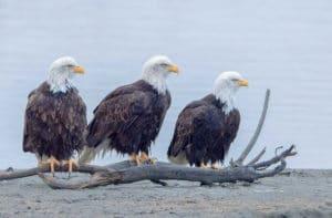 Drei Weisskopfseeadler posieren für den Profifotografen Beat Glanzmann in Haines Alaska