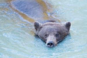 Schwimmender Grizzlybär im Lachsfluss vor dem Winterschlaf fotografiert, Fotoreisen mit Beat Glanzmann