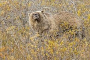 Grizzly Bär schnüffelt am Dempster Highway auf Fototour unterwegs mit Fotograf zum Polarkreis Kanada