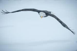 Edler Weisskopfseeadler im Anflug mit Blick auf den Fotografen. Adlerfotoreisen Alaska und Yukon Kanada