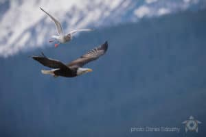 Daniel Sabathy Bird photography, flying Bald eagle