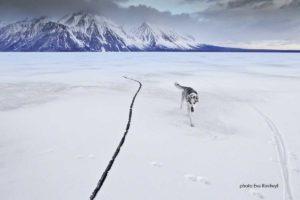 Husky auf gefrorenem Dezadeash See, Kathleen Lake im Winter auf Spaziergang im Kluane National Park, Aktiv sein Wandern und Reisen