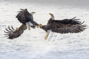 Zwei Weisskopfsee-Adler verkrallt im Flugkampf. Adler Actionfotografie vom Profifotograf in Alaska am Chilkat River fotografiert