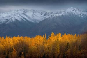 Indian Summer leuchtend farbige goldige Bäume im Yukon entlang von den verschneiten Kluane Berge im Yukon Kanada