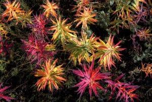Fireweed Weidenröschen in der Tundra Herbstfarben Indian Summer Foto-Rundreisen mit Kleinbus unterwegs