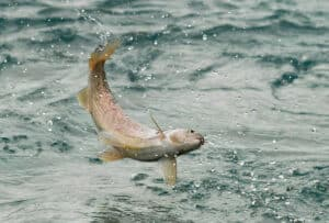 Fischen im Yukon auf Kanutouren unterwegs auf Abenteuer Reisen am Fluss Kanada Nordlandreisen am River