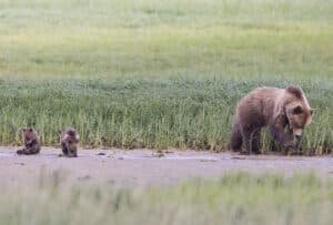 Grizzly Bärin mit Jungen am Fluss entlang vom Kanu beobachtet beim Paddeln Alaska Yukon River Reisen