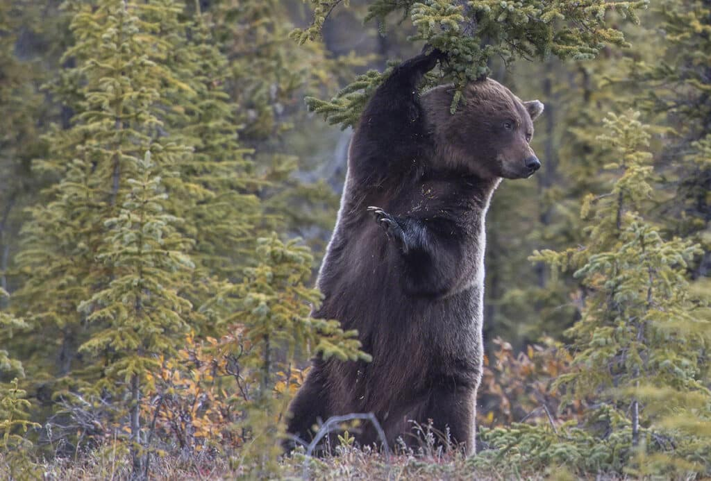 Grizzly Bär im Yukon beobachtet und fotografiert vom Fluss aus auf Kanureisen im Norden von Kanada