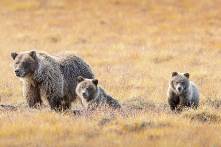 Tours Grizzly Bear Indian Summer Photography professional Photographer