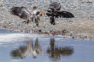 Young Bald Eagles fighting for salmon Haines Alaska