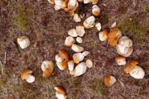 Steinpilze sammeln im Yukon in der Wildnis Pilze auf geführten Herbsttouren Indian Summer Gruppenreisen