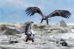 Auf Fotoreise mit Profifotograf. Zwei junge Weisskopfseeadler am Lachsfluss in Haines Alaska in Action fotografiert